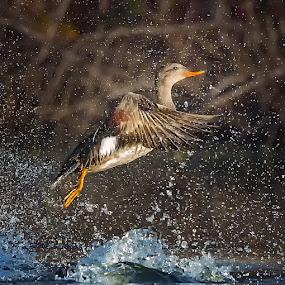 Gadwall Flurry by Don Holland - Animals Birds