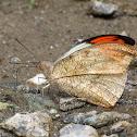Great Orangetip Male