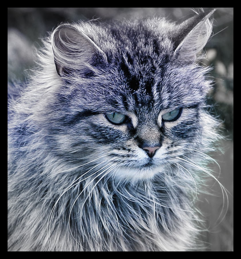 Manx Cat by CLINT HUDSON - Animals - Cats Portraits ( cat, manx cat )