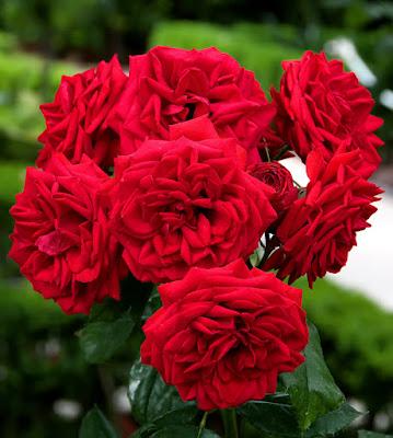 Rosae di Mauro Cestaro