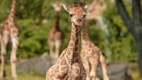 Baby Giraffe thumbnail