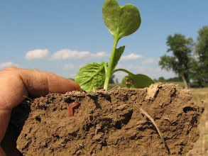 Photo: Forage radish seedling 1 week after planting. Earthworms seem to love them.