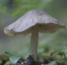 Photo: Megacollybia rodmani