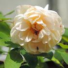 Jaune Desprez Rose