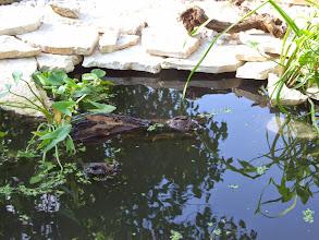 Photo: egy kivágott szőlő gyökérből lett úszó szigetke a közepén, nyílfüvet erősítettünk hozzá dróttal https://www.facebook.com/reginakertgodollo