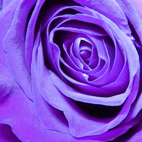 Purple Rose by Renee LaFlesh - Flowers Single Flower (  )