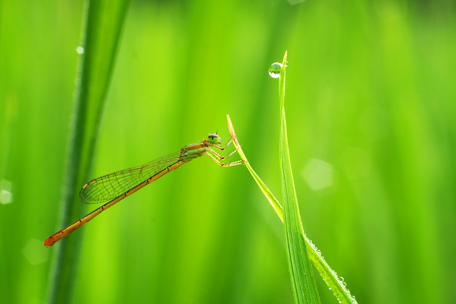 capung by Sukarman _ - Animals Insects & Spiders