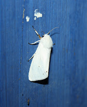 Photo: Diaphora mendica   Lepidoptera > Erebidae