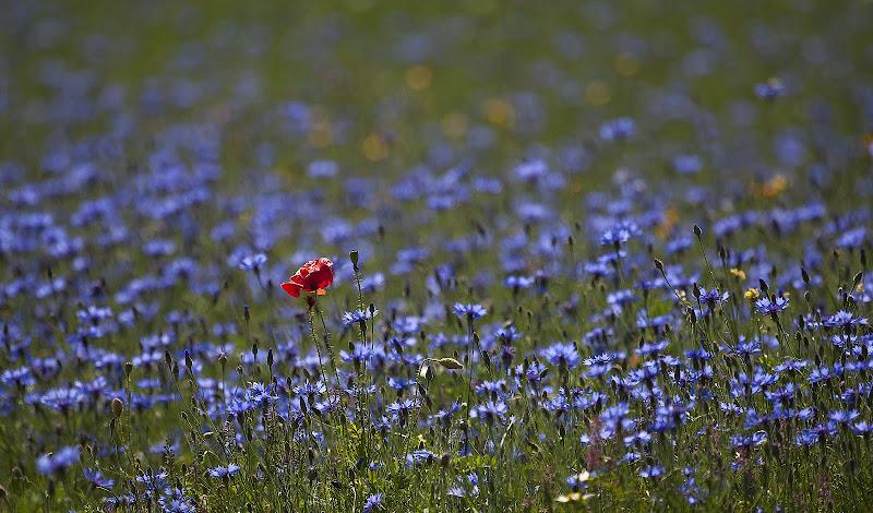 Un fiore rosso in un mare di fiori blu di iam_paola