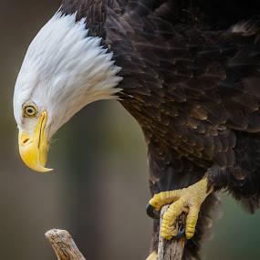 Eagle Landing  by John Sinclair - Animals Birds ( eagle, nature, wildlife, raptor )