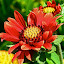 Red Flower by Joe Fazio - Flowers Flower Gardens ( red, gardens, center, garden, flower )