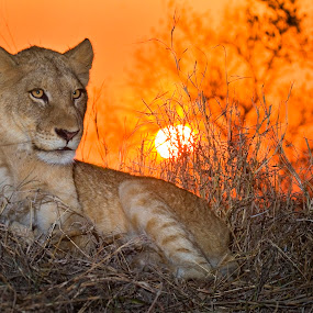 lioness sunrise by Andre de Kock - Animals Lions, Tigers & Big Cats ( big five, lion, lioness, sunset, safari, big 5, sunrise )