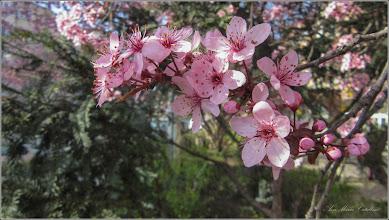 Photo: Corcodus ornamental rosu  (Prunus cerasifera Nigra) - de pe Str. Libertatii - 2018.04.12
