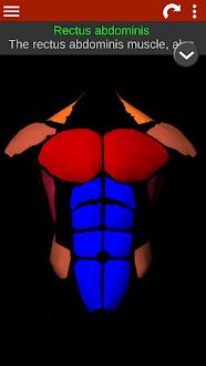 Sistema Muscular 3D Gratis