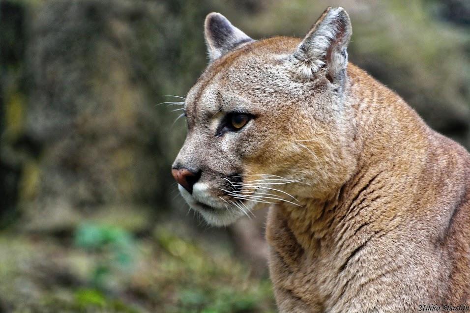 Puma, Aywaille - Tous droits réservés Nicolas Clément