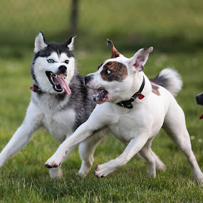 Wtf!!! by Peter M  - Animals - Dogs Playing ( canon, huskie, pit bull, husky, dog )