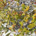 Chapman Oak or Scrub Oak
