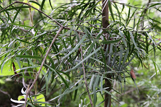 Photo: Podocarpus leaves (Afrocarpus gracilior) - the trees appeared around 1700m elevation.