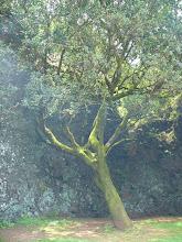 Photo: Arbol Santo - heiliger Baum der Ureinwohner