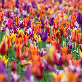 Colorful tulips by Péter Mocsonoky - Flowers Flower Gardens ( plant, bouquet, seasonal, bright, colorful, vivid, vibrant, tulips, beauty, yellow, leaf, pretty, spring, blossom, nature, fresh, pink, colored, flowers, flower, petal, purple, park, flora, green, beautiful, white, bloom, sunlight, netherlands, field, red, easter, season, color, tulip, background, summer, freshness, day, natural, garden, floral )