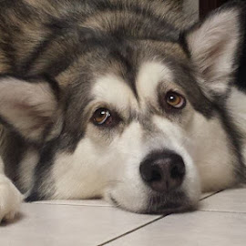Sad face by Jeff Keeling - Animals - Dogs Portraits ( malamute, pets, sad, sadness, dog )