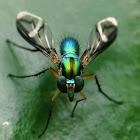 Chrysosoma Long-legged Fly