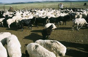 Photo: 03152 ブルド/ハスバータルイ家/ヒツジとヤギの群れ