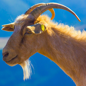 by Danny Andreini - Animals Other Mammals ( photogenic goat )