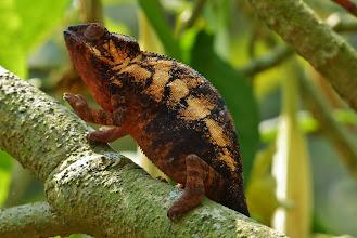 Photo: Chamäleon 13: Weibchen des Panther-Chamäleon