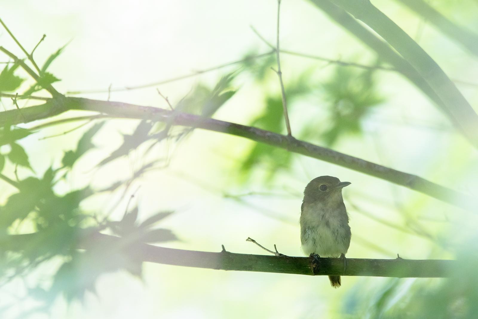 Photo: 「くつろぎの時間」 / Relax time.  緑に覆われた 安心な場所 くつろぐ君の姿が浮かぶ のんびりのんびり  I guess that's a female Narcissus Flycatcher. (キビタキ雌と推測)  Nikon D500 SIGMA 150-600mm F5-6.3 DG OS HSM Contemporary  #birdphotography #birds #kawaii #ことり #小鳥 #nikon #sigma  ( http://takafumiooshio.com/archives/2776 )