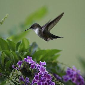 Vervain Hummingbird by Rachel Startin - Animals Birds ( bird, flight, jamaica, vervain, humminbird, hover, hummer )