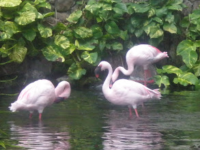 Photo: pink flamingoes close-up