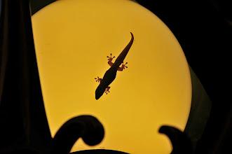 Photo: Lizard at night.