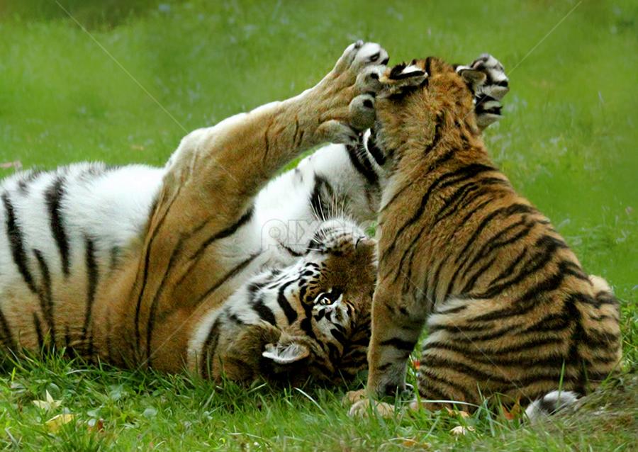by John Larson - Animals Lions, Tigers & Big Cats (  )