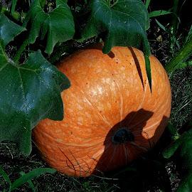PUMPKIN by Wojtylak Maria - Food & Drink Fruits & Vegetables ( orange, pumpkin, food, round, vegetable, garden,  )