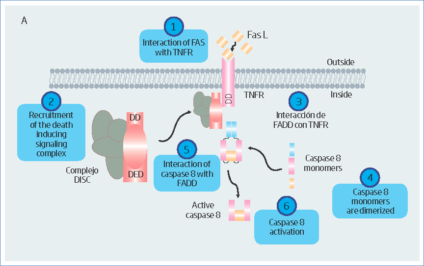 Schematization of the general activation pathway of some caspases.