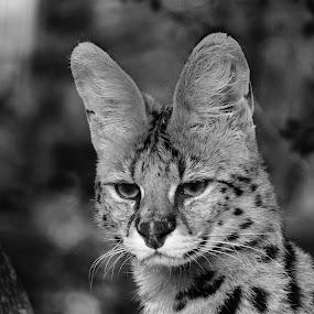 A Lonely Bobcat by Nenad Borojevic Foto - Black & White Animals (  )