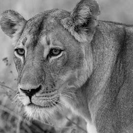 by Steven Liffmann - Black & White Animals ( lion )