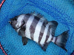"""Photo: おおおーっ! 今年初のお魚!""""イシダイ""""でございます! オカムラさん、やったね!"""