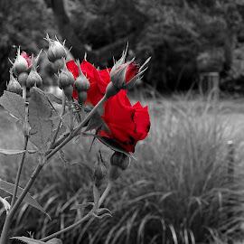 Rose by Radisa Miljkovic - Digital Art Things
