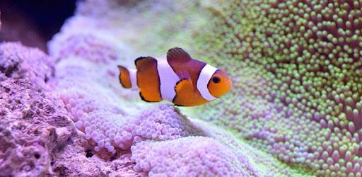Descargar Clown Fish Wallpaper Para Pc Gratis última