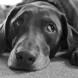 puppy eyes by Eric  Adamski - Animals - Dogs Playing ( content, resting, looking left, black and white, relaxed, labradore, dog grey, dog, lab, chocolate lab, eyes )