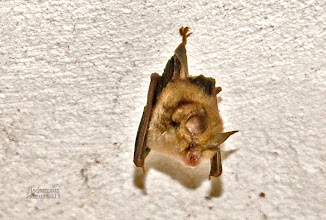 Photo: Fledermaus