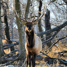 Bull Elk ! by Jan Siemucha - Animals Other ( antlers, elk, snow, trees, bull elk, bull, portrait )
