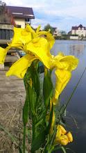 Photo: ирис болотный