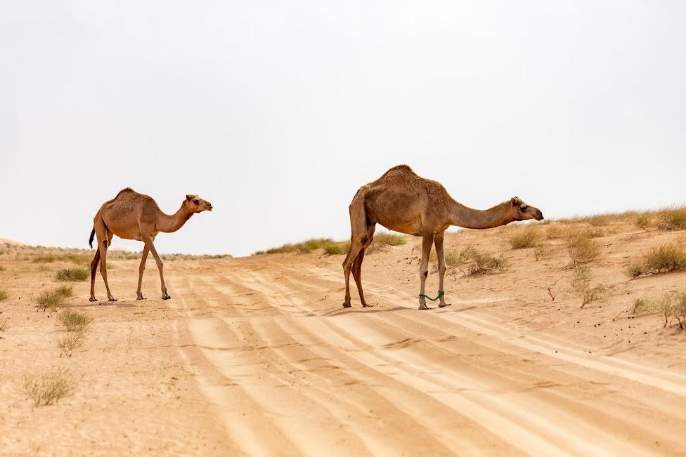 samochodem po Omanie, wielbłądy