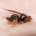 Chalcid Mimicking Fly
