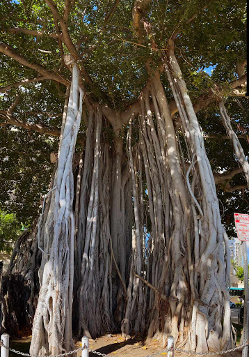 banyan.jpg - Spotted lots of banyan trees on the Big Island but also here in Waikiki.