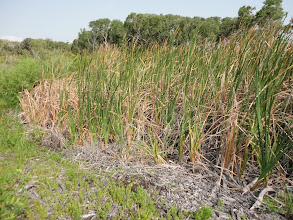 Photo: Cat tails indicate water.  Moist deposits can provide opportunities for preservation of thousands of years of pollen essential in reconstructing the environment.  Peat deposits like those at Windover can provide  excellent windows to the past.   You have to first get the samples and the Geoprobe is an effective tool in this respect.