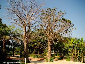 Photo: #016-Baobabs au Club Med de Cap Skirring